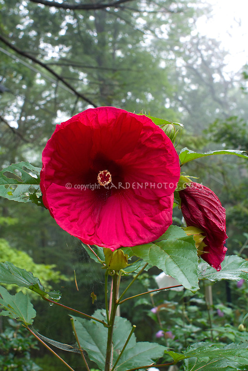 HIBISCUS moscheutos Cherry Brandy in large red flowers in late summer, tall perennial plant, Blooms of Bressingham Cordials Collection, Rose Mallow, dinner plate size blooms