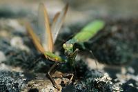 Gottesanbeterin, Europäische Gottesanbeterin, Weibchen frisst das Männchen nach der Paarung, Kannibalismus, Fangschrecke, Mantis religiosa, Praying Mantis, Fangschrecken, Mantodea, mantises, mantes, mantid, mantids, Mante religieuse, mantoptères