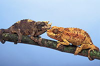 JACKSON'S CHAMELEONS. Youngsters..Eastern Africa & Introduced to Hawaii. Captive..(Chamaeleo jacksonii).