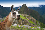 A llama at the ancient Inca ruins of Machu Picchu, Peru.