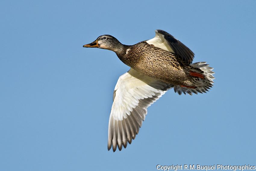 Mallard Hen in flight at Bosque Del Apache NWR