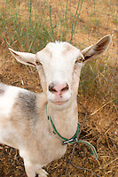 Domaine de la Garance. Pezenas region. Languedoc. A goat that also contributes to fertilizing the vineyards. France. Europe.