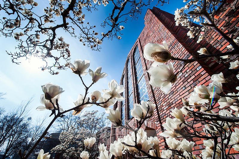 Blooming magnolia blossoms and the Chapel of Memories. (Photo by Russ Houston / © Mississippi State University)