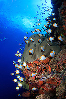 A school of Pyramid Butterflyfish ( Hemitaurichthys polylepis ) feed on zooplankton along the reef drop-off, Wakatobi, Southeast Sulawesi, Indonesia.