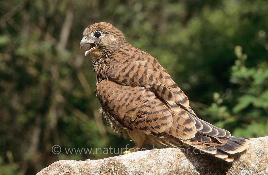 Turmfalke, flügger Jungvogel, Turm-Falke, Falke, Falco tinnunculus, common kestrel