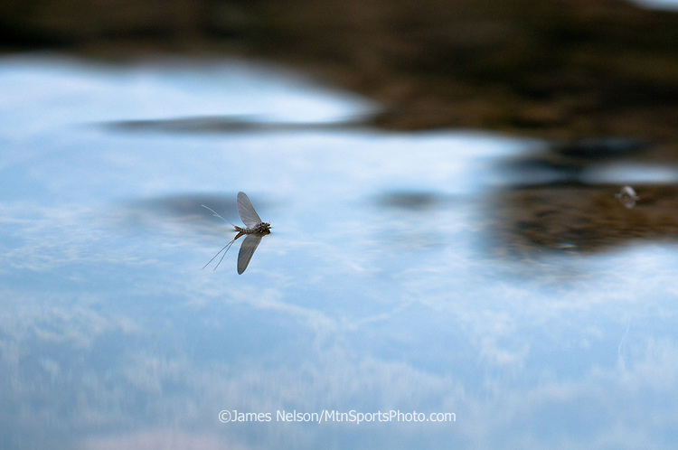A blue-wing olive (baetis) floats on the surface of the South Fork of the Snake River, Idaho.