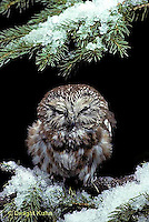 OW02-313a  Saw-whet owl - fluffing feathers up to warn off intruder - Aegolius acadicus