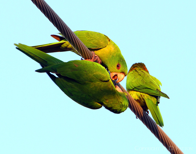 Green parakeets arguing