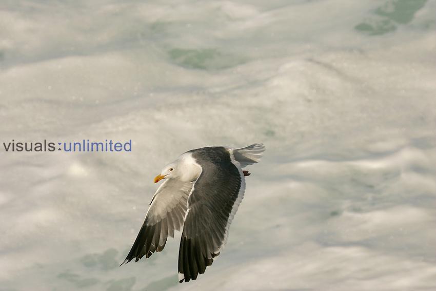 Western Gull over waves downstroke, LaJolla, California.