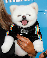 """LOS ANGELES - AUG 10:  Milk, the Pomeranian at the """"The Angry Birds Movie 2"""" at the Village Theater on August 10, 2019 in Westwood, CA"""