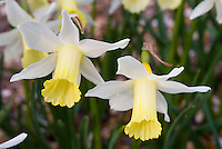 Narcissus 'Elka' daffodils, yellow and flower spring flowering bulbs