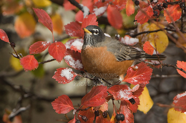 American Robin, Turdus migratorius, male in Black Hawthorn (Crataegus douglasii) fallcolors snow, Grand Teton NP,Wyoming, September 2005