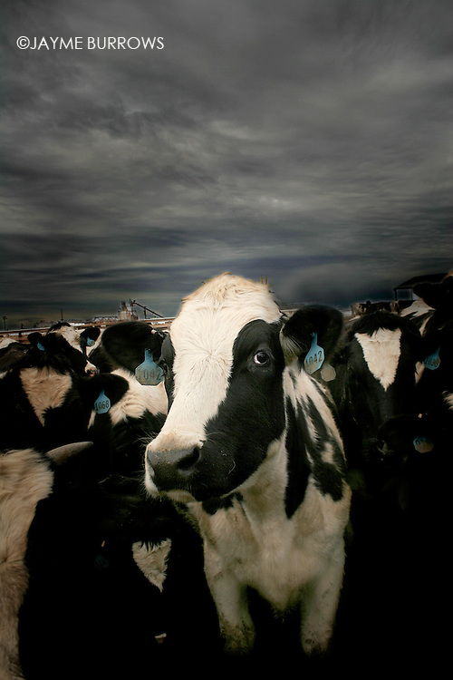 A single cow in the midst of a crowd in a feed lot on a farm in Chowcilla, California.