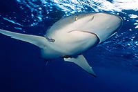 silky shark, Carcharhinus falciformis, Kona, Big Island, Hawaii, USA, Pacific Ocean