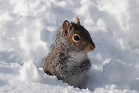 Grey Squirrel in the snow.