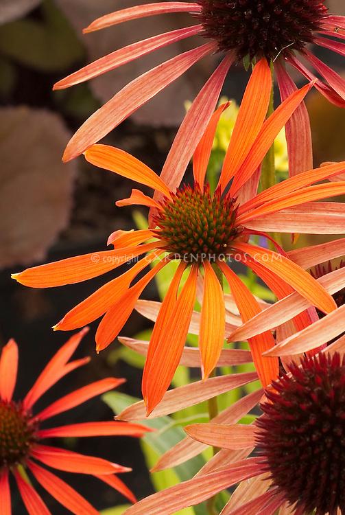 Echinacea Orange Meadowbrite, coneflower