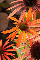 Echinacea Orange Meadowbrite, coneflower