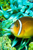 The colorful Clown Anemonefish ( Amphiprion ocellaris) can be found on display at the Waikiki Aquarium.