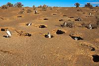 Magellanic Penguins (spheniscus magellanicus) in Punta Tombo Patagonia Argentina