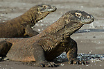 A pair of Komodo Dragons, Varanus komodoensis, Horseshoe bay, Komodo National Park