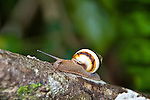 The tree snail is found in subtropical hardwood hammocks, in trees such as the wild tamarind.