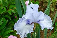 France, Loiret ('(), La Bussière, jardin du château de la Bussière, le potager, iris des jardins 'Château de la Bussière'