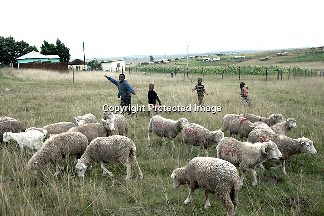 QUNU SOUTH AFRICA - MARCH 28: A boys herd their family sheep on March 28, 2012 in Qunu, South Africa. Nelson Mandela was born in a rural village called Mvezo in 1918 and he moved to nearby Qunu as a young boy. Mvezo is about 32 kilometers away. (Photo by Per-Anders Pettersson