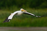 American White Pelican taking flight