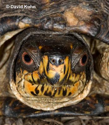 1002-0807  Close-up of Head of Male Eastern Box Turtle, Terrapene carolina © David Kuhn/Dwight Kuhn Photography.
