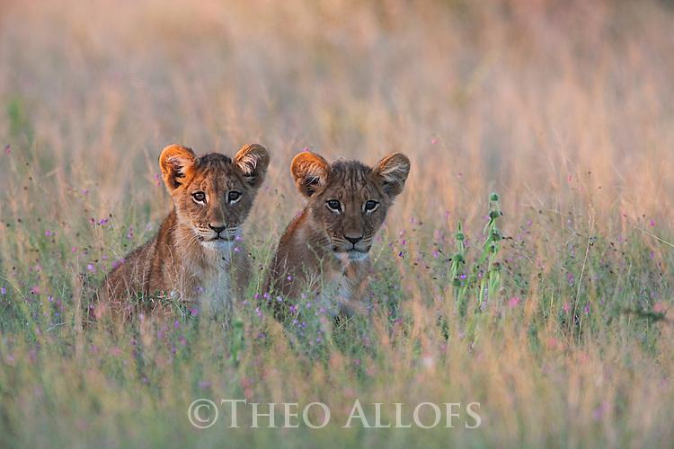 Botswana, Nxai Pan National Park, young lion cubs in grass