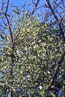Holiday decorator plant Mistletoe growing with white berries