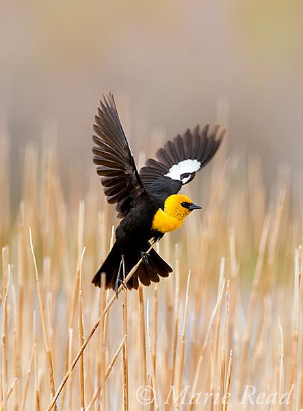 Yellow-headed Blackbird (Xanthocephalus xanthocephalus) male in breeding plumage displaying with raised wings, Mono Lake Basin, California, USA