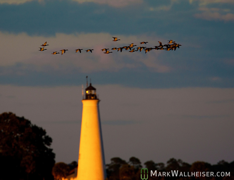 Birds go to roost past the ST Marks Lighthouse as the Blue Moon prepares to rise in Wakulla County in the Florida panhandle along the Forgotten Coast.