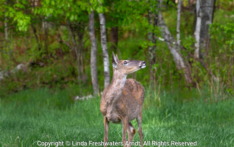 A bug-eyed doe looks up at a bald eagle in a birch tree.