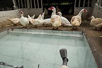 Granja Pérola, especializada em criação de patos.<br /> Um dos principais itens da culinária amazônica, o pato, foi trazido do continente asiático para criação doméstica durante o Brasil colonial. <br /> Vigia, Pará, Brasil.<br /> Foto Tarso Sarraf<br /> 27/08/2016