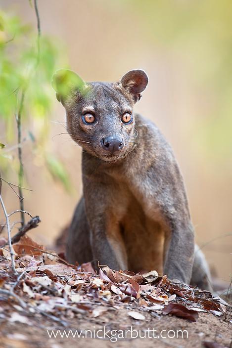 Adult male Fosa (Crytoprocta ferox) (sometimes incorrectly Fossa) on deciduous forest floor. Kirindy Forest, western Madagascar.
