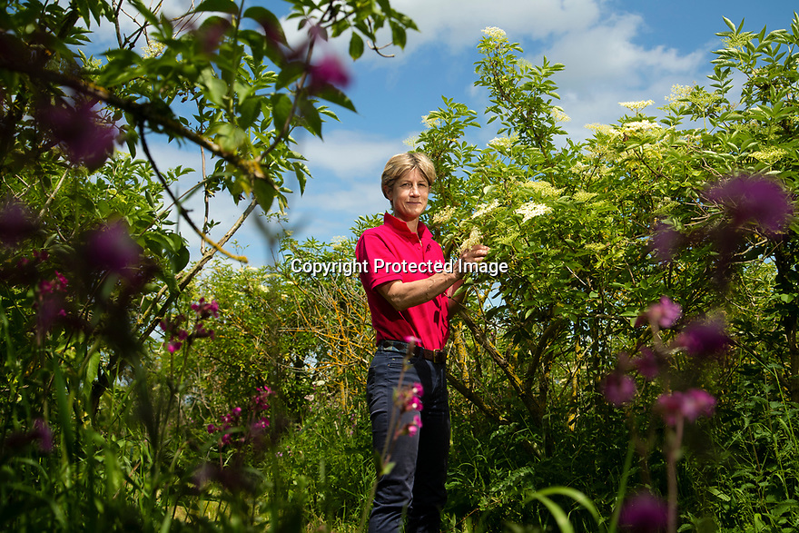 04/05/17<br /> <br /> Elderflower Manager, Andrea Beddows.<br /> <br /> Belvoir Fruit Farms – a Truly Blossoming Business<br /> <br /> Belvoir Fruit Farms has appointed the UK's first Elderflower Manager to help source more elderflowers and to grow it better in their own 90 acres of plantations, near Grantham, Lincolnshire.  The £25.2m turnover, family owned soft drinks producer, has been making its award winning Elderflower Cordial for 35 years and in 2018 saw sales of it grow by over 20%.  Yesterday saw the first large infusion of its Organic Elderflower Cordial for 2019 made using elderflowers from blossoms grown in its own plantations and picked by the local community.<br />  <br /> Belvoir currently fills 25-30 million bottles a year across its full range, catering for a robust domestic market and an export market encompassing 36 countries.  Growth in demand for Belvoir drinks has necessitated the business recently investing £1.3million in a new rinser, filler and capper machine as well as a new palletiser and automatic wrapper which has increased efficiencies, has dramatically reduced the company's waste and has the potential to double the factory's production capacity.<br />  <br /> All Rights Reserved, F Stop Press Ltd +44 (0)7765 242650 www.fstoppress.com rod@fstoppress.com