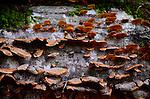 Bracket fungus, shelf fungus