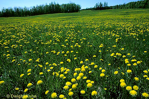 MD06-009b  Dandelion - spring meadow in flower - Taraxacum officinale
