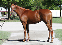 Hip #8 Street Cry - Palangana filly at the  Keeneland September Yearling Sale.  September 9, 2012.