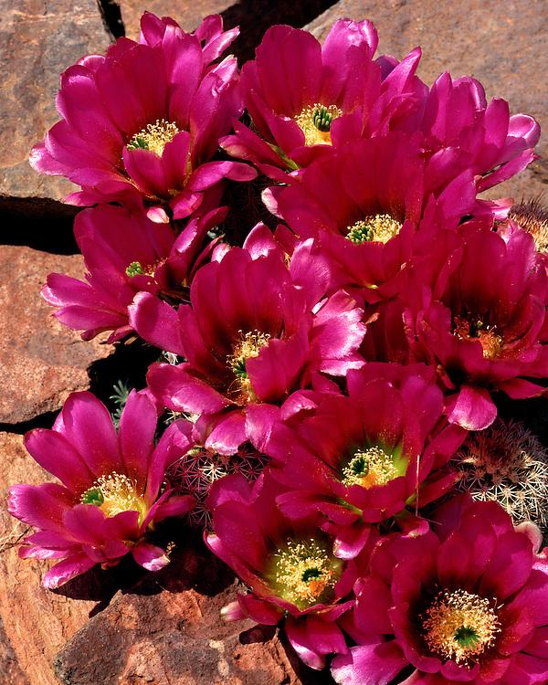 Close-up of Hedgehog Cactus (Echinocereus engelmannii); Coronado National Forest, AZ