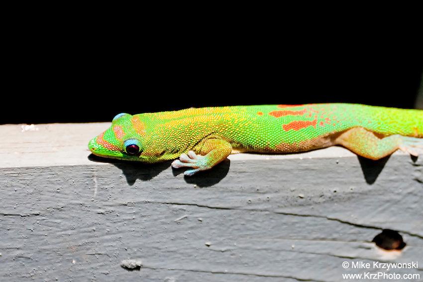 Madagascar Gold Dust Day Gecko, Oahu, Hawaii