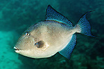 Balistes capriscus, Gray triggerfish, Florida Keys