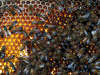 Honeybee blood comb with bees and honey.