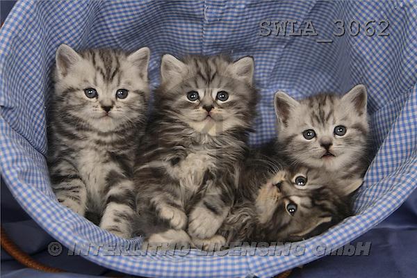 Carl, ANIMALS, photos, 4 grey kitten(SWLA3062,#A#) Katzen, gatos