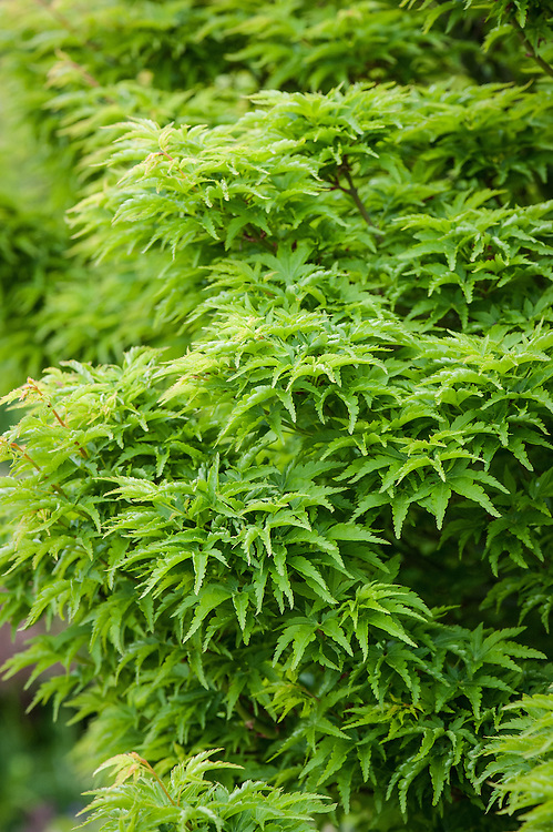 Acer palmatum 'Shishi-gashira', early May.