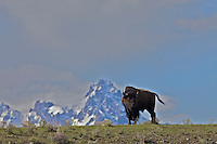 Bison Grazing below the Grand Tetons in Jackson Hole Wyoming