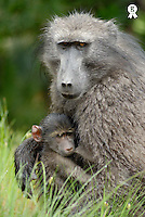Mother Chacma baboon (Papio Ursinus) holding young, close-up (Licence this image exclusively with Getty: http://www.gettyimages.com/detail/200482557-001 )
