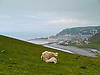 Just off the Ceredigion Coastal Path this mother sheep was feeding her lamb with the spectacular view of Aberystwyth in the background.<br />