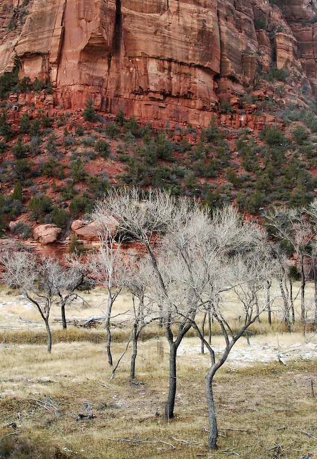 Cottonwood trees below red canyon wall, Zion National Park, Washington County, UT